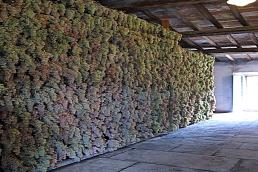 """Processo de """"apassire"""" (perda da umidade e transformação em quase passas) no Castelo de Pomino do Marques de Frescobaldi"""