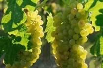 """A """"Verdicchio"""" já era conhecida desde o tempo da antiga Roma. Essa uva faz parte da lista de castas históricas"""