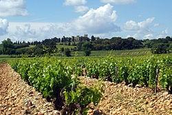 As videiras- foto de uvas Grenache - são arbustos baixos, cultivados em um solo coberto com pedras lisas e ovaladas- galets roulés - que são importantes para o amadurecimento das uvas
